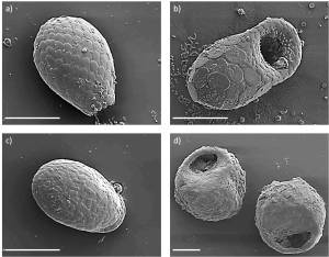 Fig. 2: Scanning electron microscope (SEM) micrographs of various idiosomic (a - c) and xenosomic (d) testate amoebae: a) Euglypha rotunda-like amoeba, b) Puytoracia bonneti (first record for Germany), c) Corythion dubium and d) two individuals of Centropyxis sphagnicola. Scale bars in all micrographs = 20 µm. Source: Puppe et al. 2014.